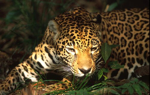jaguar-mi-dieta-salva-el-planeta-greenpeace